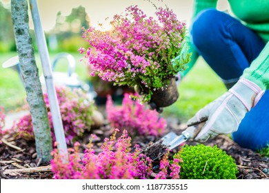 Autumn planting heathers and plants in the garden.
