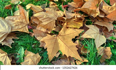 Autumn platan leaves having five triangular lobes are on the green grass. Fallen plane tree leaves on the green lawn. Close-up of orange-brown, five-lobed leaves on the grass.