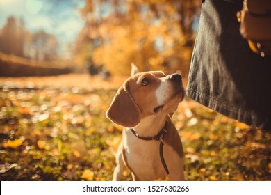 Autumn portrait of beagle dog walking  with his mistress on a leash in the beautiful park. Park with yellow maple leaves. Small dog beagle plays in the park. Dog on a walk. Funny muzzle. Autumn colors