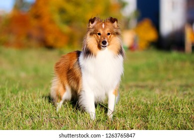 Autumn portrait of cute and smiling shetland sheepdogs with colorful red and yellow background. Nice and beautiful shelties outdoors on sunny. Little sable and white lassies dog, small collie