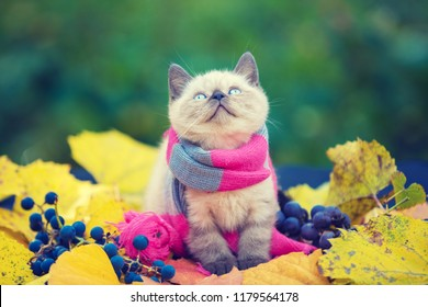 Autumn portrait of little kitten wearing pink gray knitting scarf. Cat sitting outdoors on fallen yellow leaves in a garden