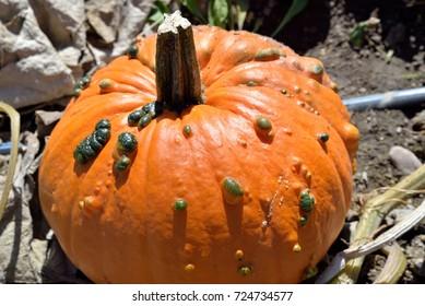 Autumn produce: Warty Pumpkins