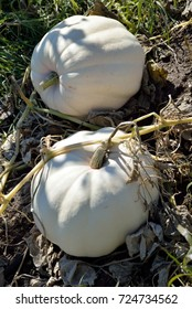 Autumn produce: White Pumpkins