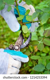Autumn pruning roses in the garden, close-up gardener's hands with secateurs
