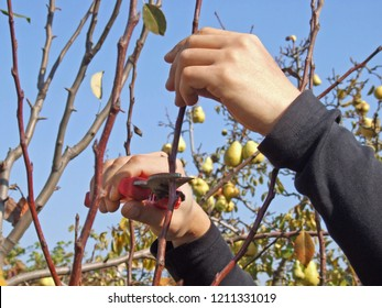 autumn pruning of trees, the guy cuts with a shears a branch of a pear in the garden
