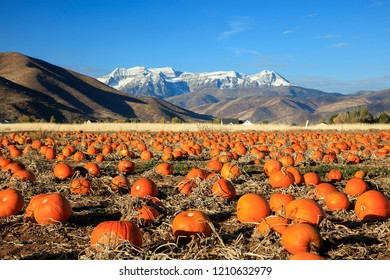 Autumn pumkin field beneath the Wasatch Mountains, Utah, USA.