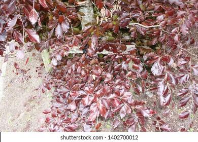 Autumn purple ash tree in Blarney, Republic of Ireland