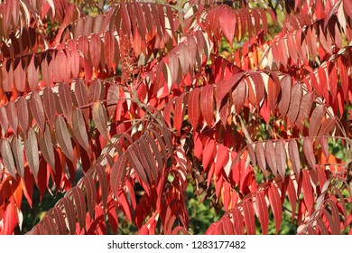 Autumn - purple and red leaves on sumac tree against green trees