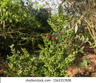 Autumn Red Berries on the Evergreen Shrub Butcher's Broom (Ruscus aculeates) in a Woodland Garden