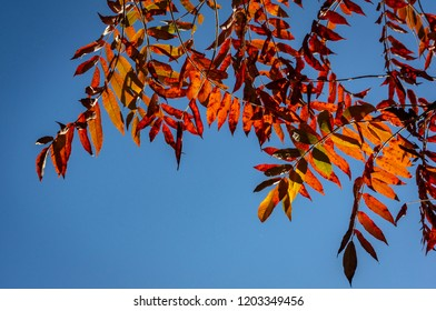Autumn red colors of the Rhus typhina (Staghorn sumac, Anacardiaceae) leaves of sumac on blue sky. Natural texture pattern background.