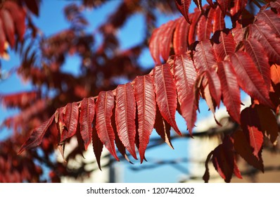 Autumn red colors of the Staghorn sumac (Rhus typhina, Anacardiaceae) leaves of sumac on blue sky. Natural texture pattern background.