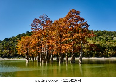 Autumn red foliage of marsh cypress trees in a mountain lake. The famous old deciduous coniferous trees (Taxódium dístichum) of the cypress family in turquoise water on a sunny day. Sukko Valley