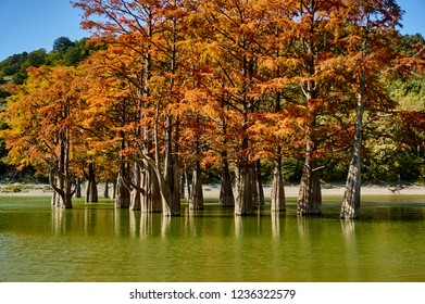 Autumn red foliage of marsh cypress trees in the water of a mountain lake. Known old deciduous coniferous trees (Taxódium dístichum) of the cypress family. Close-up. Sukko Valley