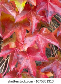 Autumn Red Ivy Leaves