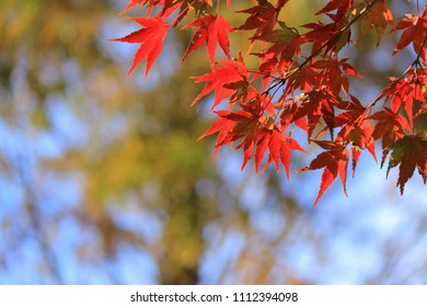 autumn red leaf