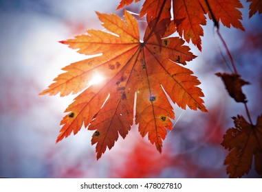 Autumn, red leaf of maple and sunlight