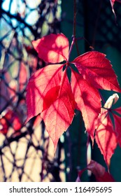 Autumn red leaves background