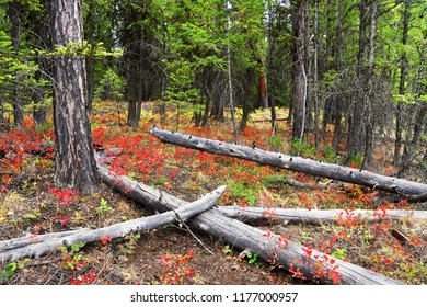 Autumn red leaves color the underbrush in a forest at Glacier National Park, Montana