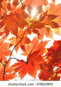 Autumn, red maple leaves, fall design