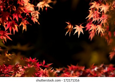 Autumn red maple leaves that has been exposed to sunlight on dark background