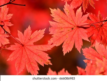 Autumn, red maple tree, autumnal ornament, fall background, sun through leaves