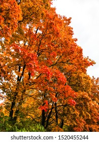 Autumn red maple tree branches. Autumn trees view. Autumn trees scene. Autumn maple trees view