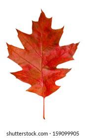 Autumn red oak leaf isolated on white background