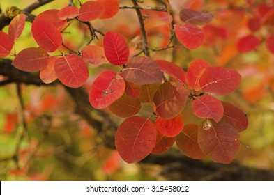Autumn red tree branch with leaves, natural fall vivid  background