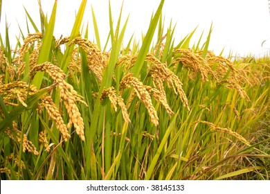 Autumn rice field