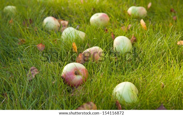 autumn - ripe apples of old variety in  green grass, some fallen leaves