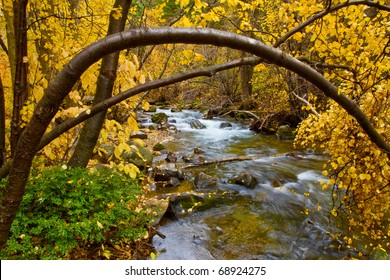 An autumn River Birch tree arches over a mountain stream - Big Cottonwood Creek, near Salt Lake City, Utah
