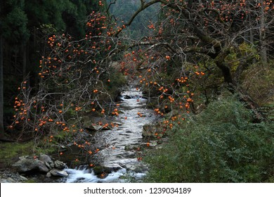 Autumn river and persimmon
