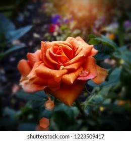 An Autumn Rose - The end of summer