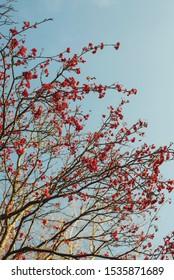autumn rowan on a blue sky background