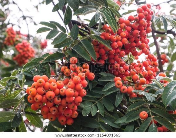 Autumn Rowan Tree Red Berries Colorful Stock Photo Edit Now