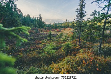 Autumn scandinavian like forest and landscape with vibrant autumn colors of blueberries, cranberries. Blue dramatic sky, sunset colors and deep green forest.