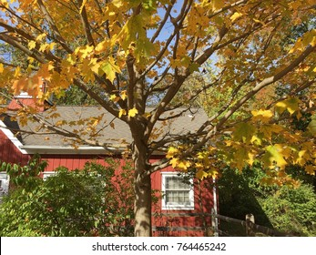 Autumn scene in the country. Fall foliage. Red schoolhouse and golden maple tree.