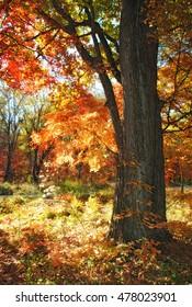 Autumn scene, maple tree, sunny landscape
