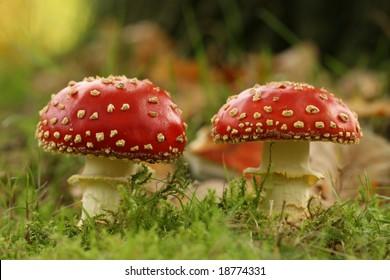 Autumn scene: two toadstools