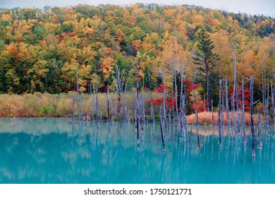 Autumn scenery of Aoi-Ike (Blue Pond) with beautiful fall colors on the lakeside hills reflected in the green water and the dead tree trunks standing in the lake, in Biei, Hokkaido, Japan - Shutterstock ID 1750121771