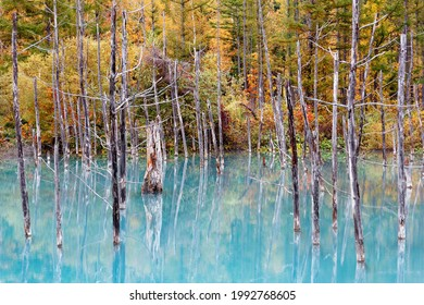 Autumn scenery of Aoi-Ike (Blue Pond) with beautiful fall colors on the lakeside hills reflected in the green water and the dead tree trunks standing in the lake, in Biei, Hokkaido, Japan - Shutterstock ID 1992768605