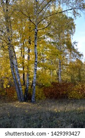 Autumn scenery with birch trees and colourful bushes