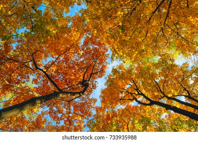 Autumn scenery. Bottom view of colorful autumn maple tree branches on blue sky background