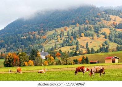 Autumn scenery of the idyllic Bavarian countryside with the cattle grazing & lying lazily on the green grassy pasture & colorful trees on the mountainside in the background in Bavaria, Germany Europe