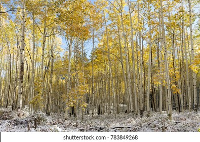 Autumn Scenery in the Rocky Mountains of Colorado - The Giant Aspens of Kebler Pass
