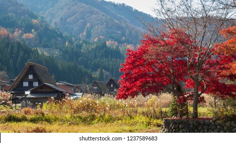 Autumn scenery in Shirakawa go valley with Wada houses with their thick characteristic thatched roofs and a red Japanese maple tree