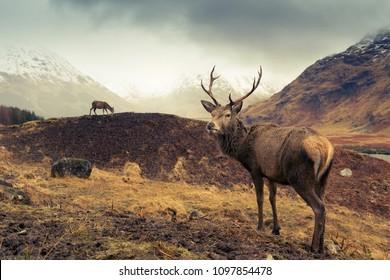Autumn scottish mountain landscape with deer. Glen Coe, Scotland.