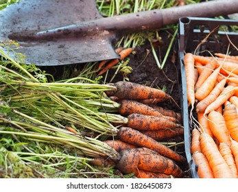 Autumn season of harvesting carrots in the garden.Freshly dug carrots with a shovel on the ground.