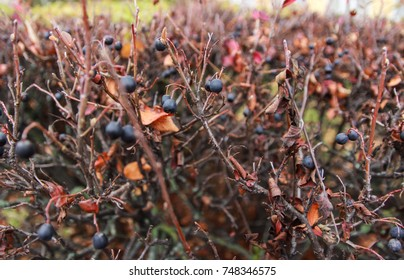 Autumn shrub with blue berries