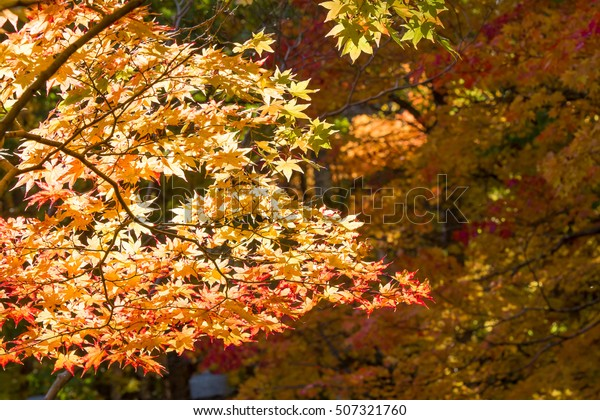 Autumn sky and colorful leaves in fall season with sun shine.
